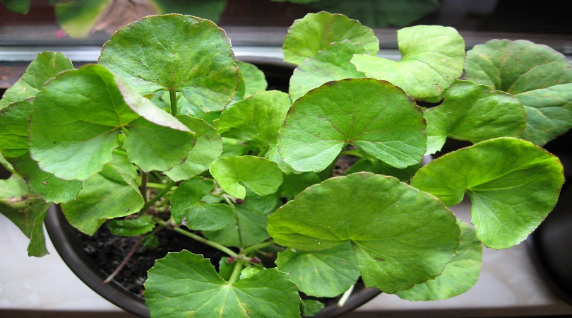 Gotu Kola Herb For Weight Loss